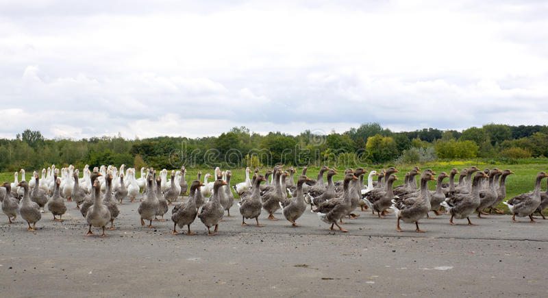 Pack of geese on the road stock photography