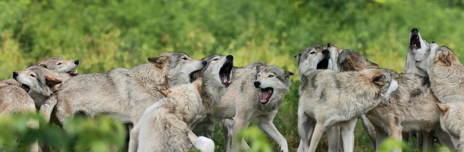 Pack of gray wolf royalty free stock photos