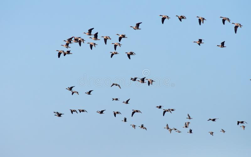 Pack of Greater White-fronted Geese flying in blue sky stock images
