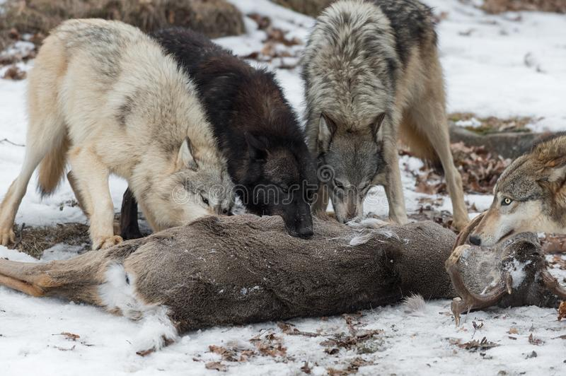 Pack grijze Wolven Canis lupus Gather in White-Tail Deer Carcass Winter royalty-vrije stock afbeeldingen