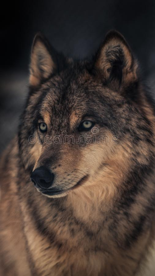 The wolf, also known as the grey wolf or timber wolf,is a canine native to the wilderness and remote areas of North America royalty free stock photography