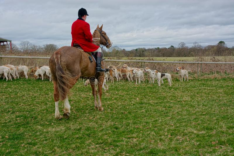 Fox hunting with a pack of hounds stock photo