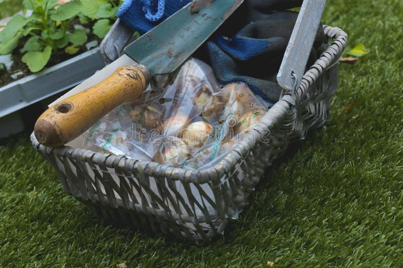 Pack of Narcissus Minow bulbs with a trowel and gloves in a wicker basket trug stock photography