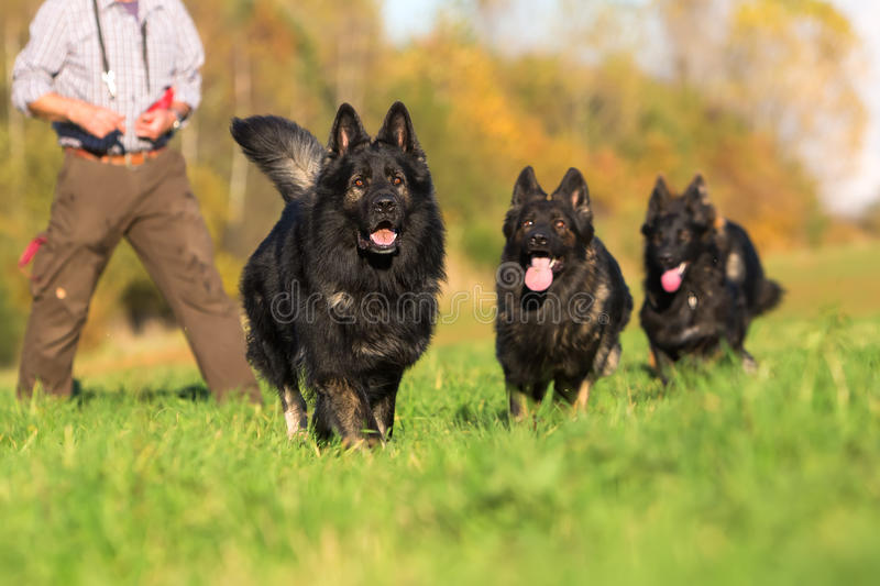 Pack of Old German Shepherd Dogs running stock images