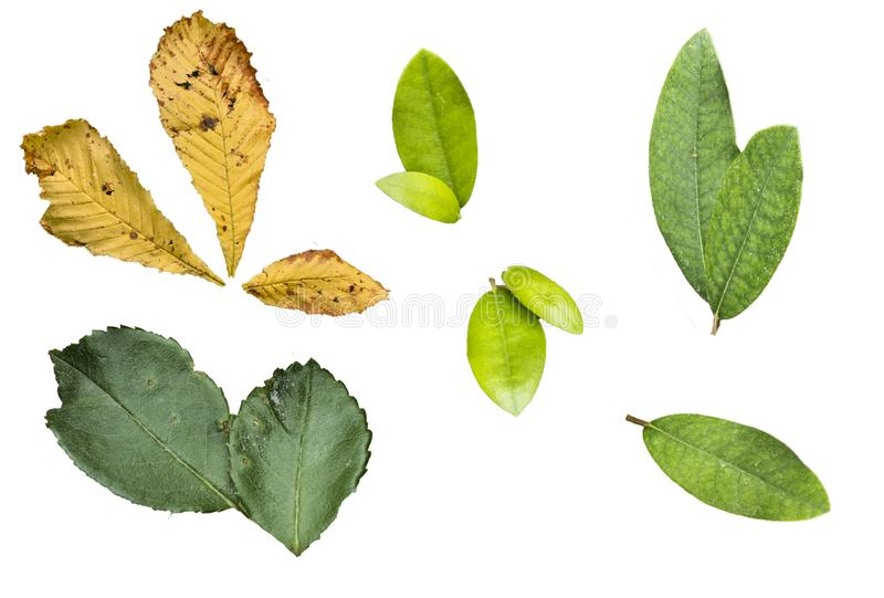 Pack set of leaves isolated on white background including green exotic leaves of roses and autumn yellow leaves stock images
