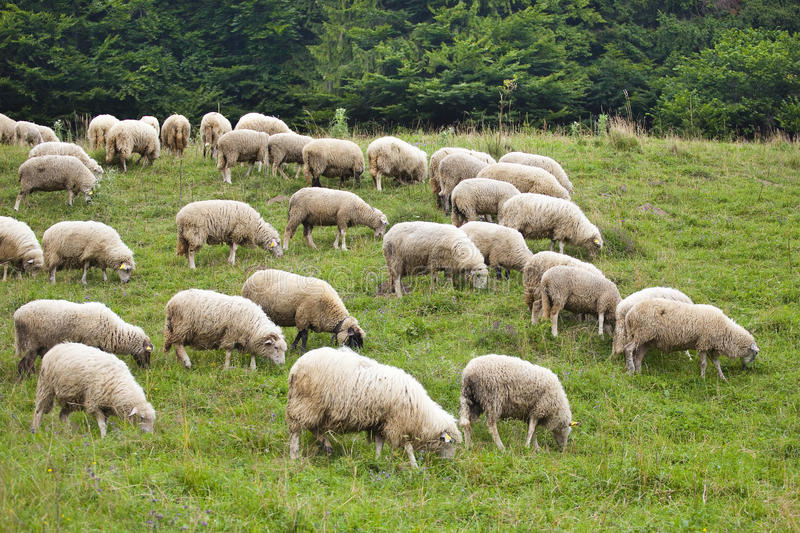 Pack Of Sheeps On The Grass Stock Photography