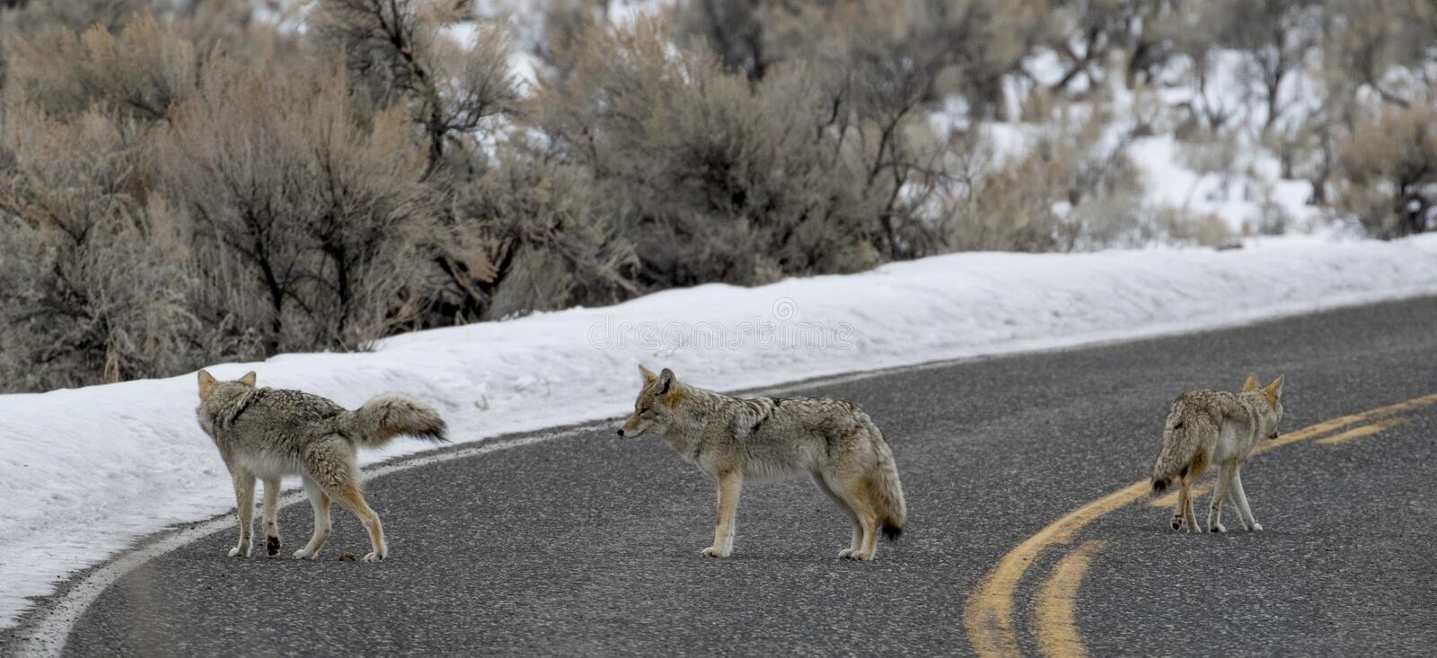 Three coyote in the road stock photos