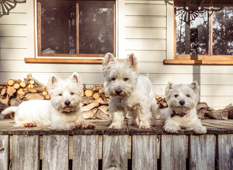 Pack of three west highland white terrier westie dogs on old woo. Den timber verandah deck of rural Queenslander villa style farmhouse in New Zealand, NZ stock photo