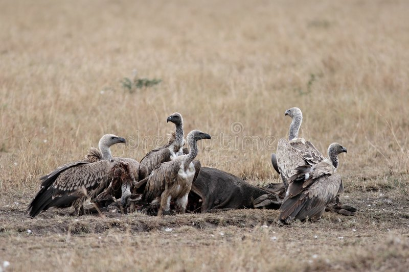 Pack of vultures devouring carcass. On the plains, looking around for other scavengers stock image