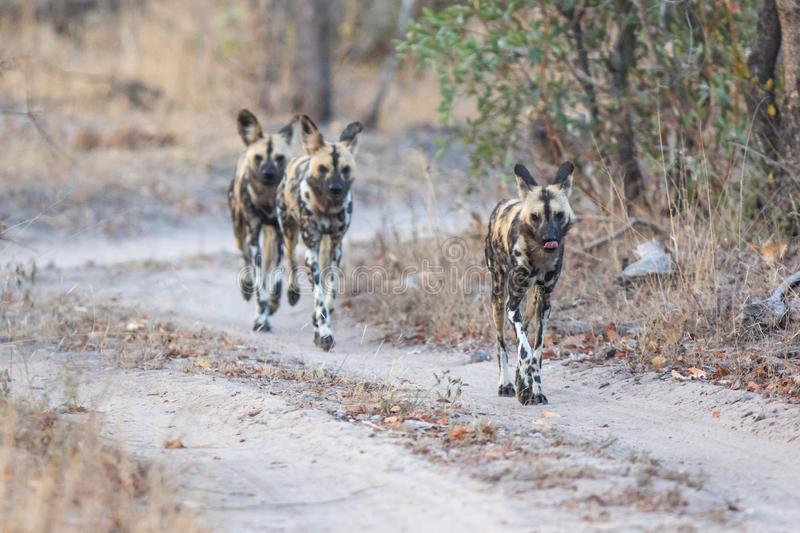 Pack of wild dogs hunting. stock image