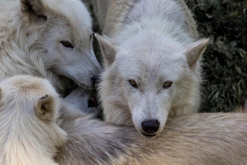 Pack of wolves stock photography