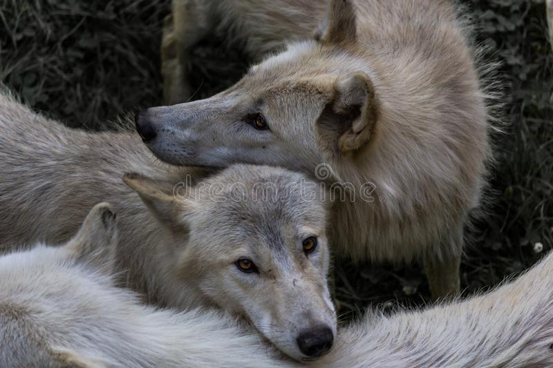 Pack of wolves royalty free stock photos