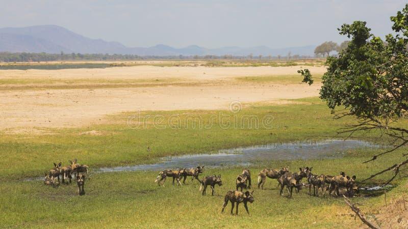 Packe av den afrikanska lösa hunden (den Lycaon pictusen) på den Zambezi floodplaen royaltyfri bild