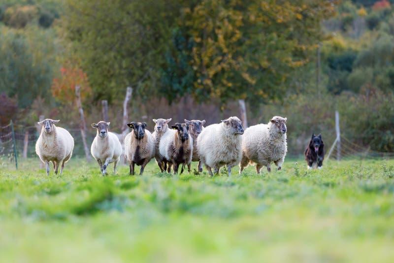 Packe av får med en australisk herdehund royaltyfri foto