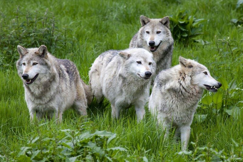 Packe av fyra europé Grey Wolves royaltyfri fotografi