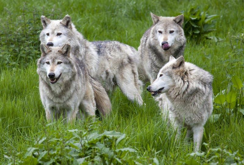 Packe av fyra europé Grey Wolves arkivbilder