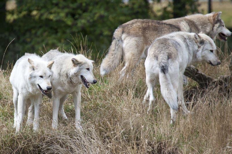 Packe av Grey Wolves royaltyfri foto