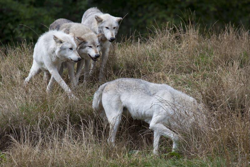 Packe av Grey Wolves royaltyfri fotografi