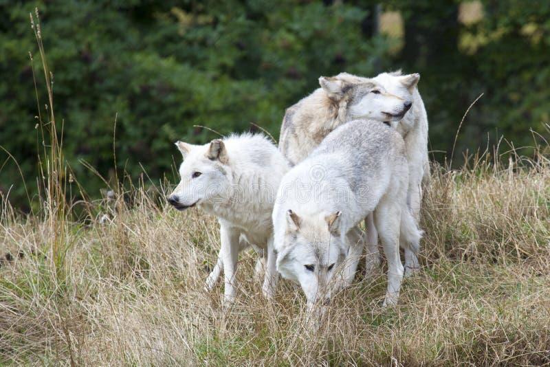 Packe av Grey Wolves arkivfoton