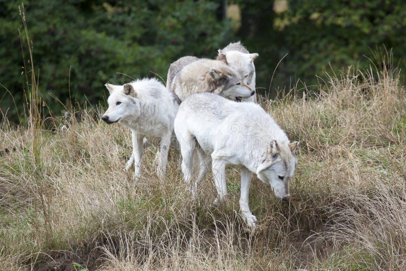 Packe av Grey Wolves royaltyfria bilder