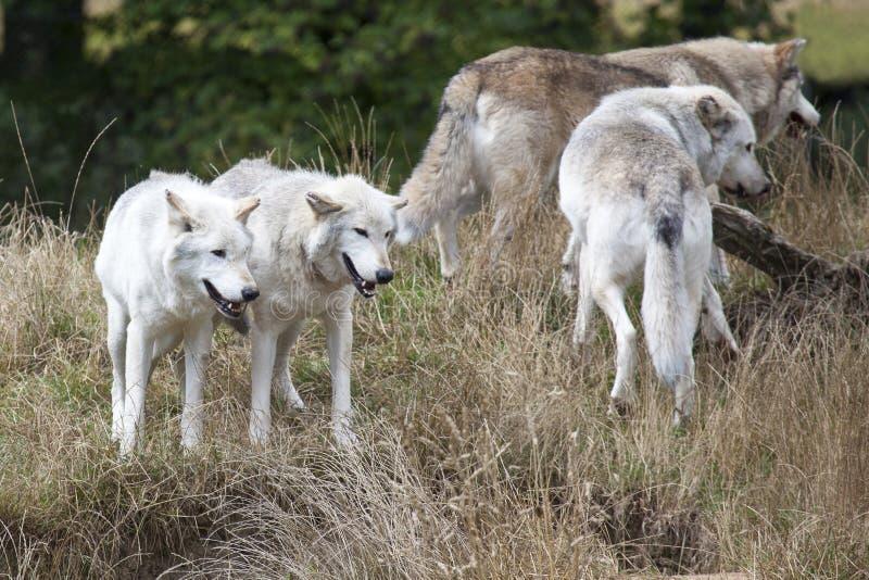 Packe av Grey Wolves arkivbild