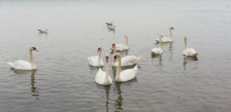 Packe av h?rliga vita svanar p? den tysta yttersidan av havet Bakgrund fotografering för bildbyråer