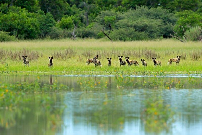 Packe av jakt för lös hund i Botswana Djurlivplats från Afrika, Moremi, Okavango delta Djurt uppförande, gruppstolthet av afrikan royaltyfri fotografi