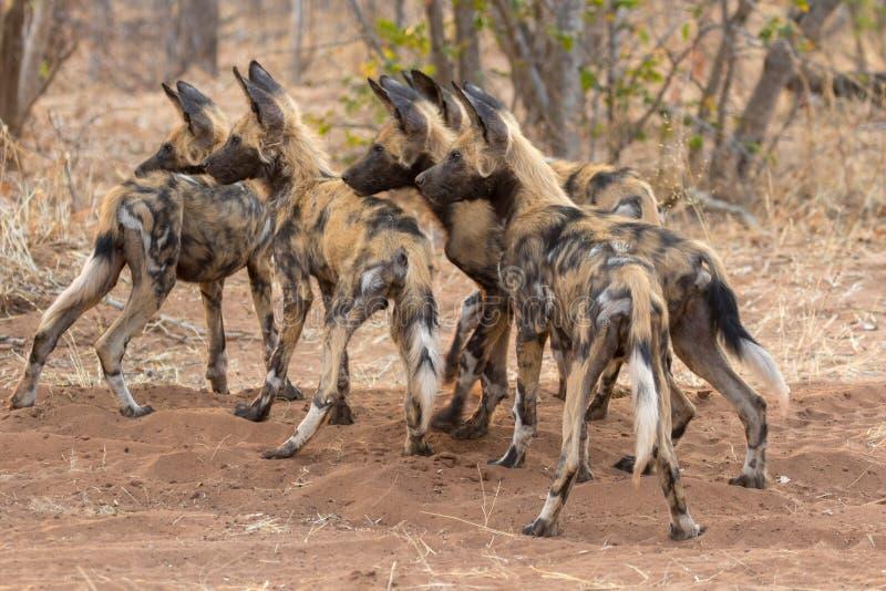 Packe av lös hundkapplöpning i den Kruger nationalparken royaltyfria bilder