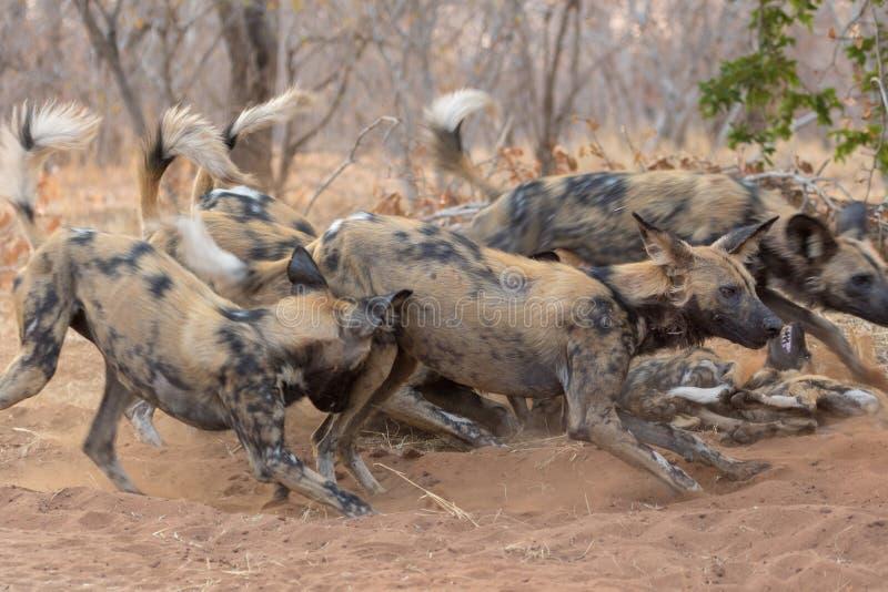 Packe av lös hundkapplöpning i den Kruger nationalparken fotografering för bildbyråer