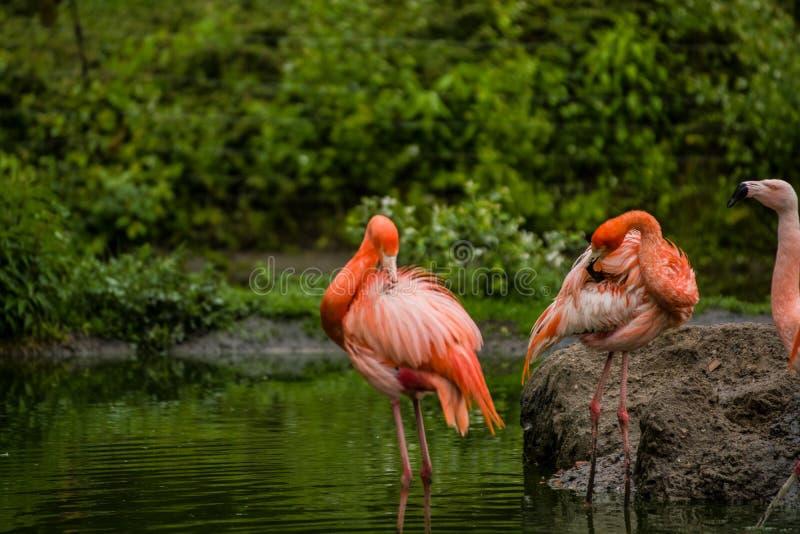 Packe av ljusa f?glar i en gr?n ?ng n?ra sj?n Exotiska flamingo genomdr?nkte rosa och orange f?rger med fluffiga fj?drar royaltyfria bilder