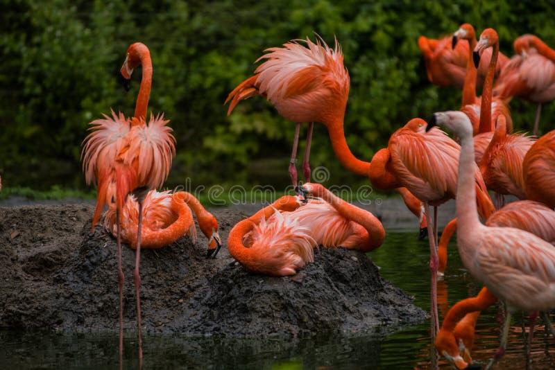 Packe av ljusa f?glar i en gr?n ?ng n?ra sj?n Exotiska flamingo genomdr?nkte rosa och orange f?rger med fluffiga fj?drar royaltyfria foton