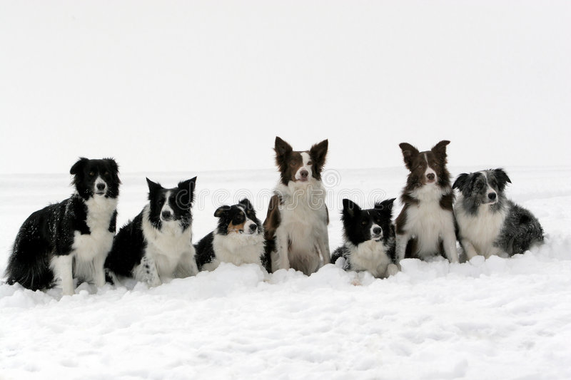 Download Packe för kantcollies arkivfoto. Bild av dregla, boris - 509770
