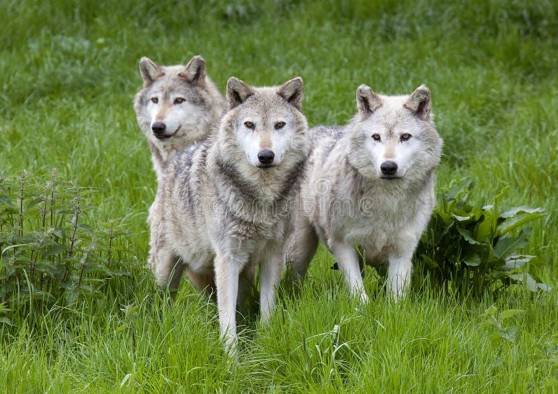 Packe tre av europén Grey Wolves fotografering för bildbyråer