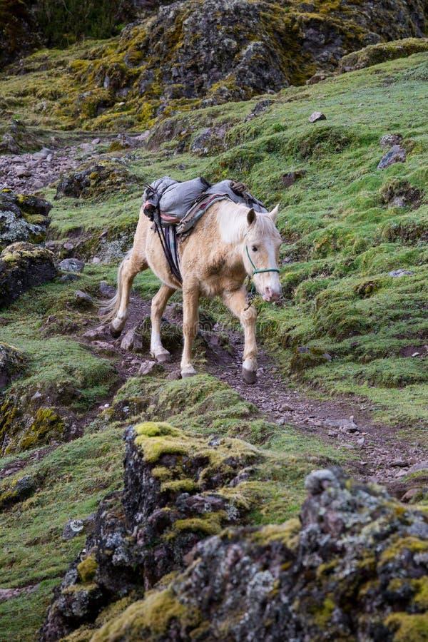 Packehäst på bergslinga i Peru arkivfoto