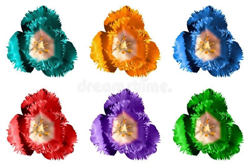 Packen av den isolerade kulöra overkliga exotiska tulpan blommar makro arkivbild