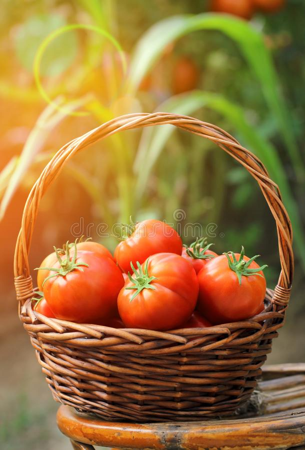 Packet av färska, röda tomater och trädgård royaltyfria foton
