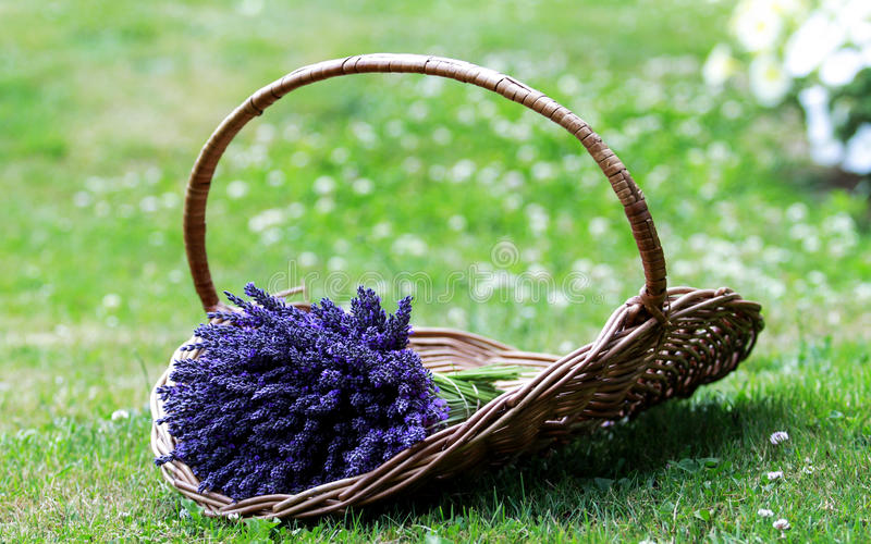 A Packet Lavender. On the ground. A Lavender Farm at Columbia Gorge, Oregon St., US stock photography