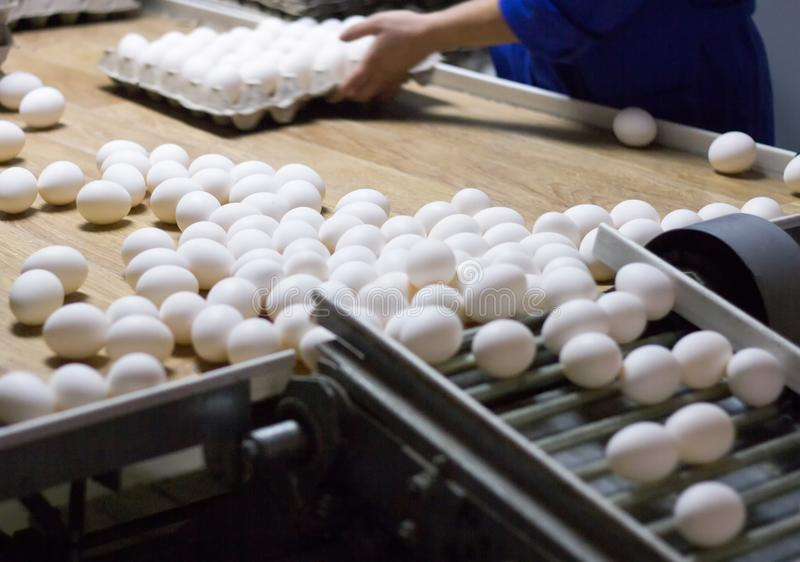 Packing and sorting of chicken eggs at a poultry farm in special trays from a conveyor, close-up, process royalty free stock photography