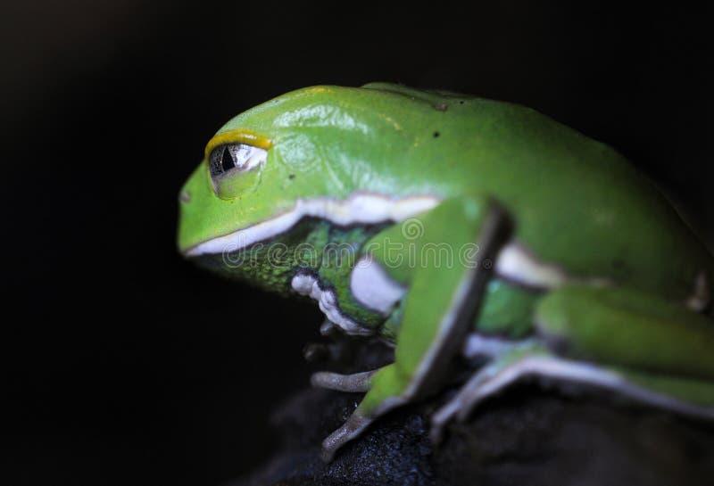 Pacman groda royaltyfri fotografi