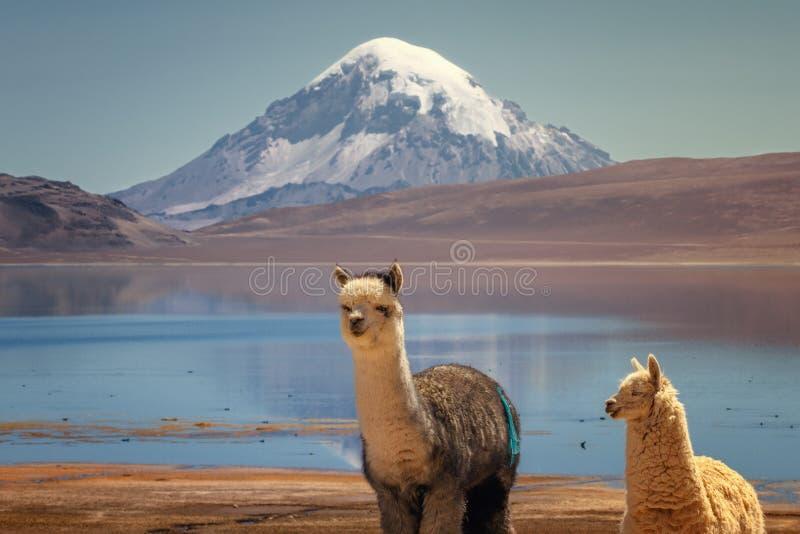 Pacos do Vicugna da alpaca que pastam na costa do lago Chungara na base do vulcão de Sajama, no Chile do norte fotos de stock