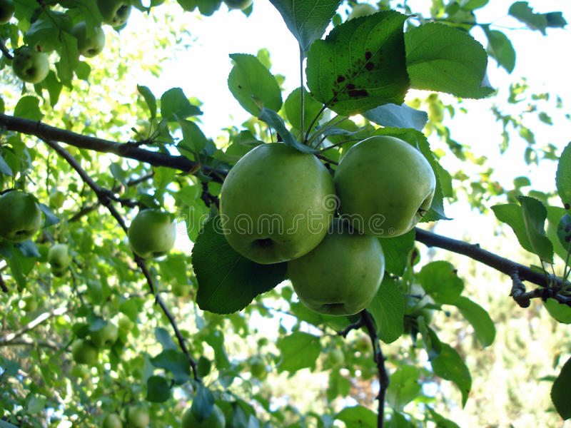 Pacote de maçãs verdes fotografia de stock royalty free