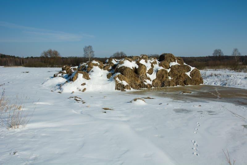 Pacotes de feno cobertos com a neve foto de stock