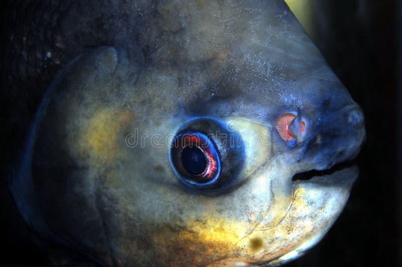 Download Pacu Closeup stock photo. Image of closeup, sharp, herbivore - 11635064