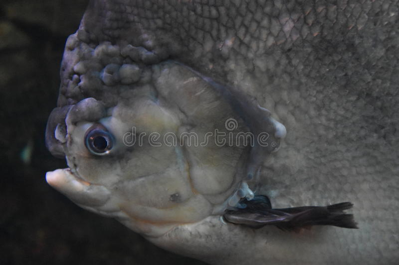 Pacu Fish. Big Pacu Fish in Water royalty free stock image