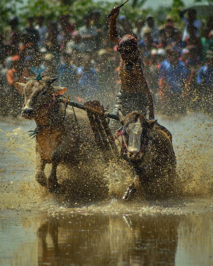 Pacu Jawi è corsa di tradizione con la mucca come simbolo di riconoscente fotografia stock