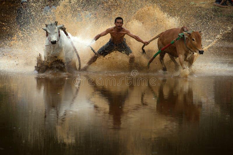 Pacu Jawi στη δύση Sumatra, Ινδονησία στοκ εικόνες με δικαίωμα ελεύθερης χρήσης