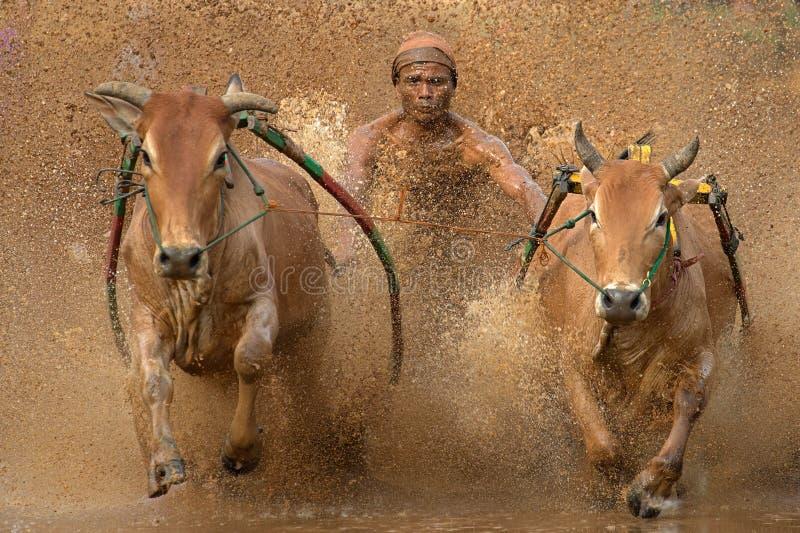 Pacu Jawi in Sumatra ad ovest, Indonesia fotografia stock libera da diritti