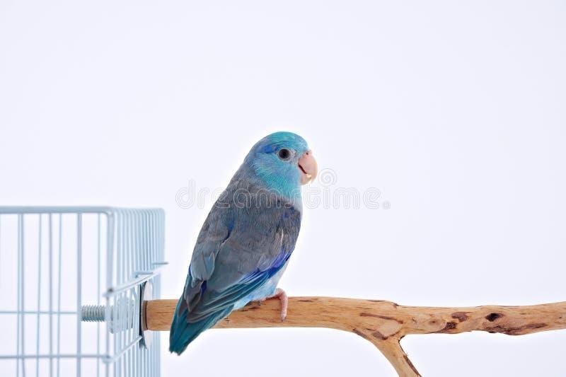 Pacyficzna papuga fotografia royalty free