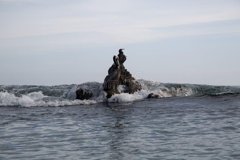 Pacyficznego oceanu denni ptaki kormoran i pelikany na skały dużej fala zdjęcie royalty free