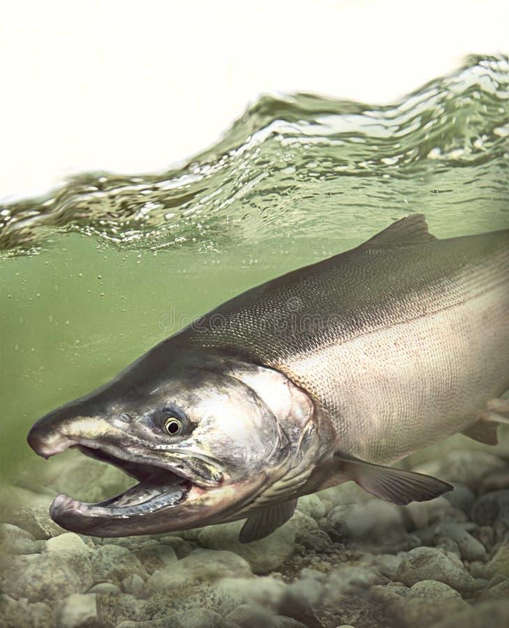 Pacyficzny coho srebnego łososia ryby bieg puszek strumień obrazy royalty free